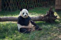 Chengdu - Giant Panda Breeding Research Base - 390